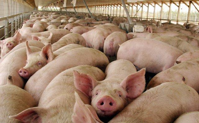 Chanchada: en el primer semestre Argentina importó 633 toneladas de cerdo