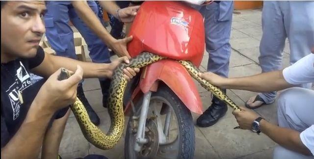 """Una serpiente """"asustada"""" se """"escondió"""" en una moto"""