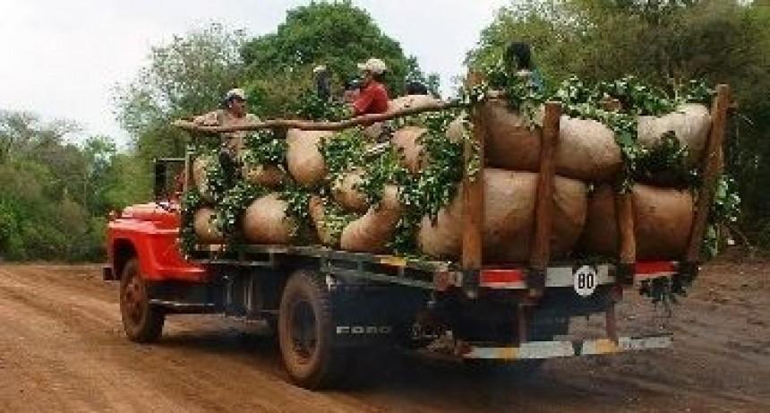 Los yerbateros piden elevar un 60% el precio de la hoja verde y canchada