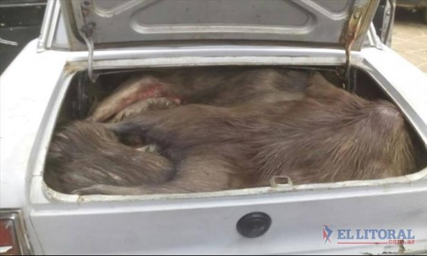 Incautaron fauna silvestres faenada en Paso de los Libres