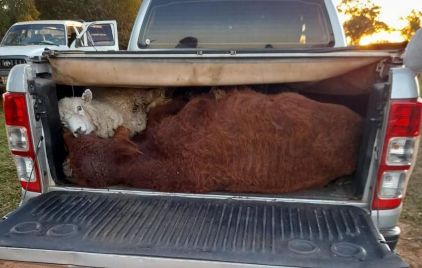 Corrientes: Intentaban robar tres terneros y una oveja en la caja en una camioneta
