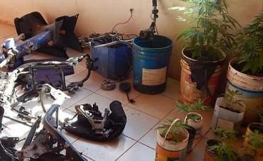Santo Tomé: buscaban cosas robadas y hallaron unas 23 plantas de marihuana