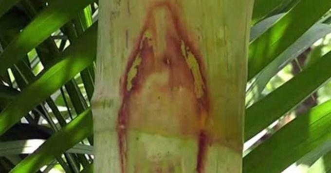 Misterio por imagen de Virgen en una palmera