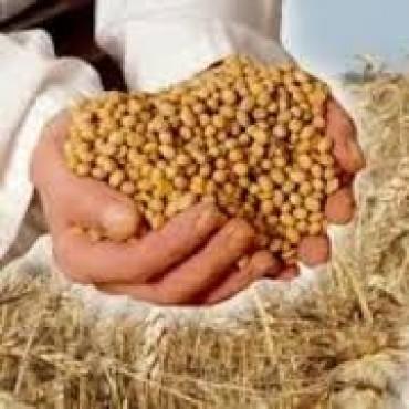 Soja: la siembra crecería hasta 20% en la próxima campaña